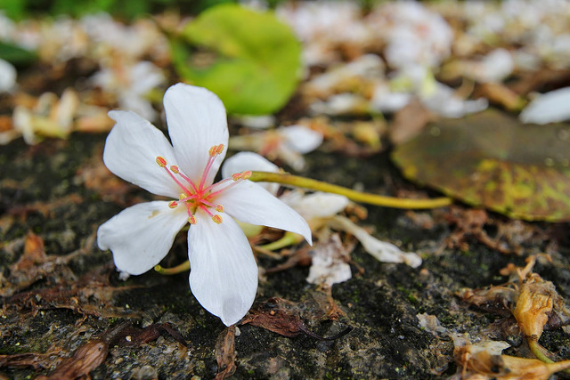 【宜蘭. 賞花】燈篙林道 / 秘境油桐花與櫻花